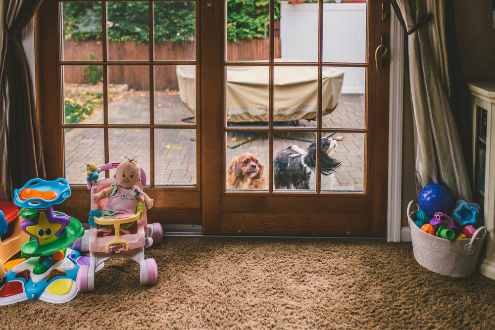 Two dogs gaze in the living room window.
