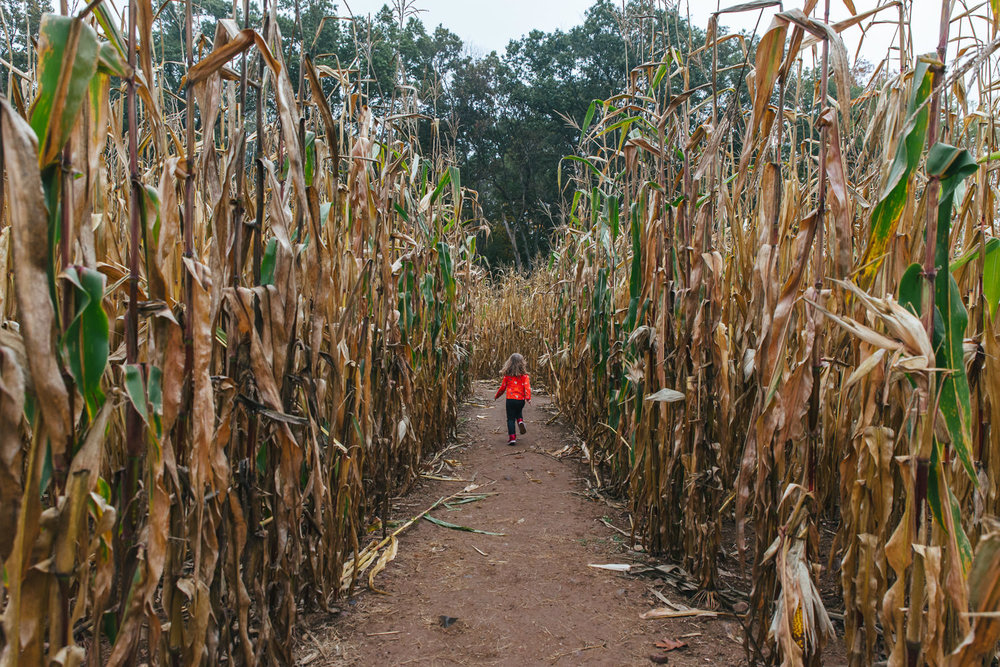 A little girl runs through a corn maze.