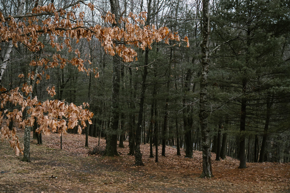 Trees in the woods of Copake.