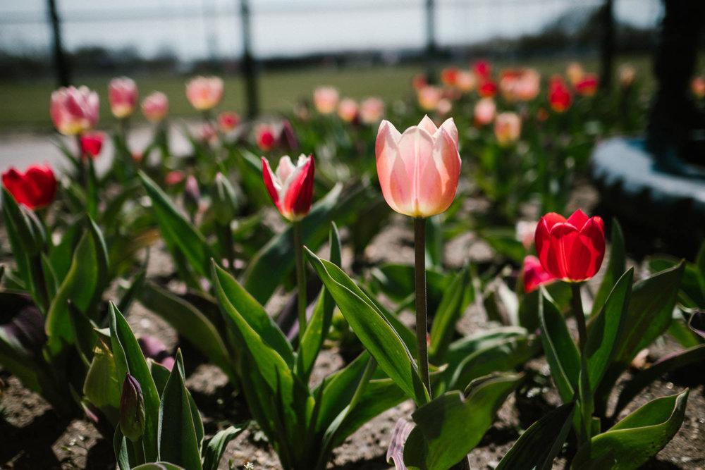 Tulips at Garden City Community Park.