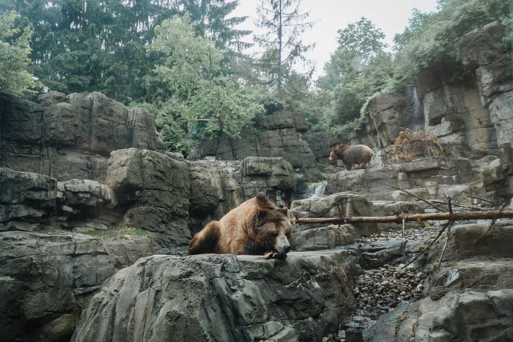 Grizzly bears at the Central Park Zoo.
