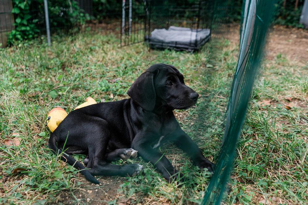 A black lab puppy.