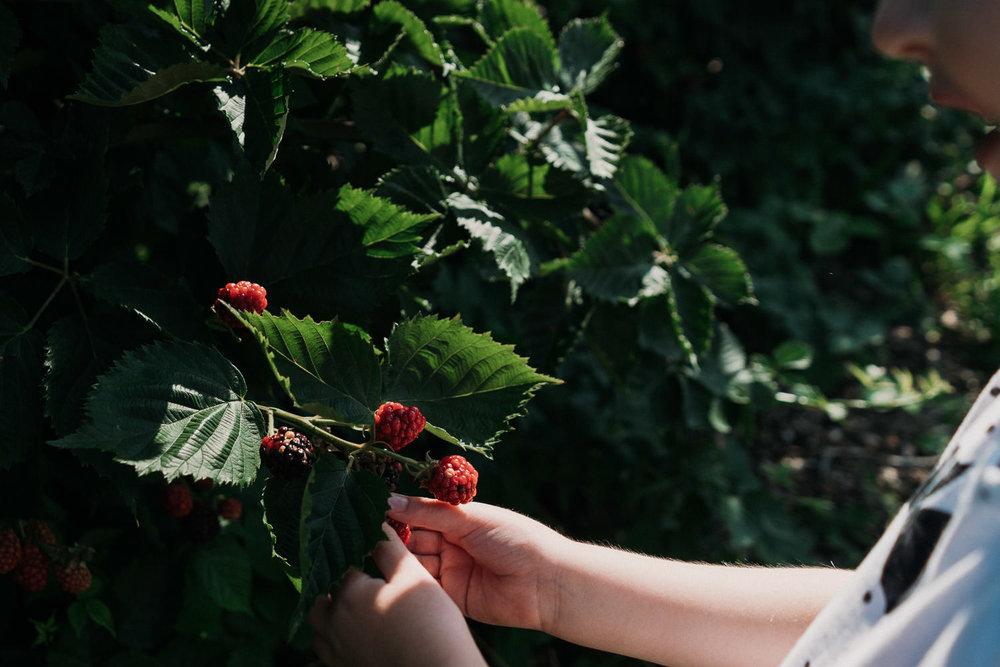 A child picks raspberries at Crossroads Farm.