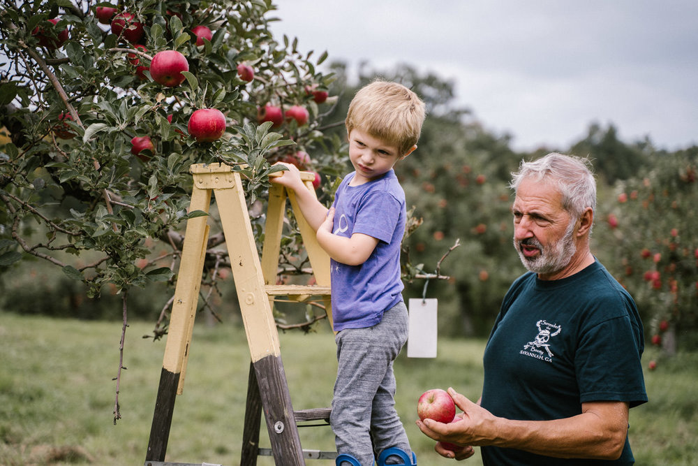 A little boy picks apples with his grandfather.
