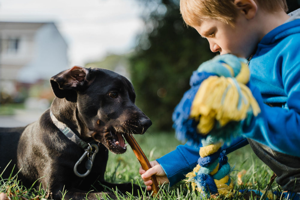A little boy feeds his dog a bully stick.