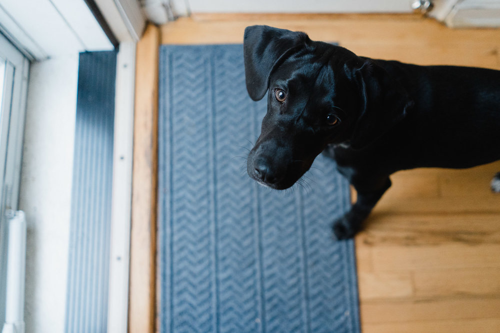 A black lab puppy asks t go outside.