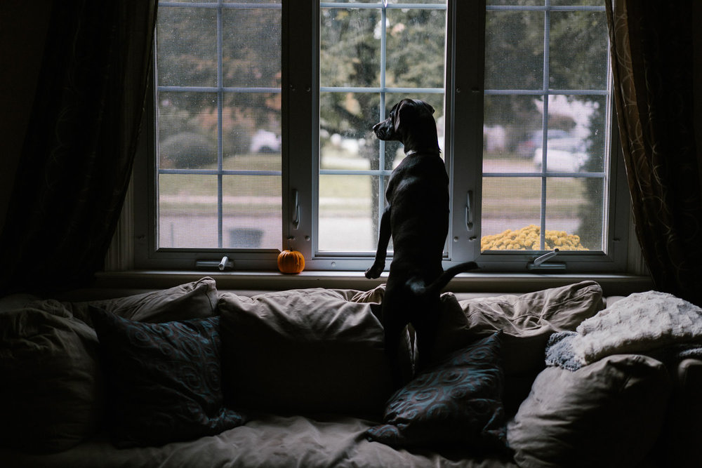 A dog stands on a couch and looks out the window.