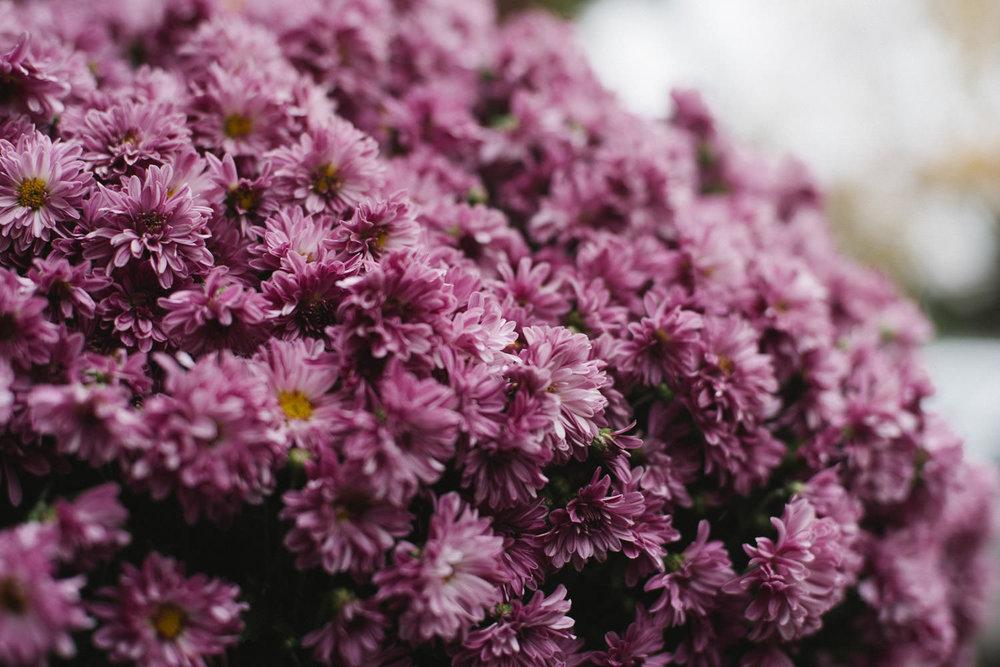Purple mums.