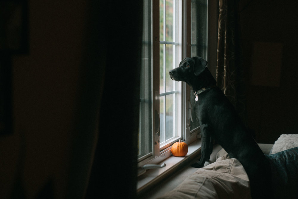 A black dog looks out a window.