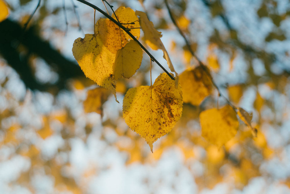 Yellow fall leaves on a tree.