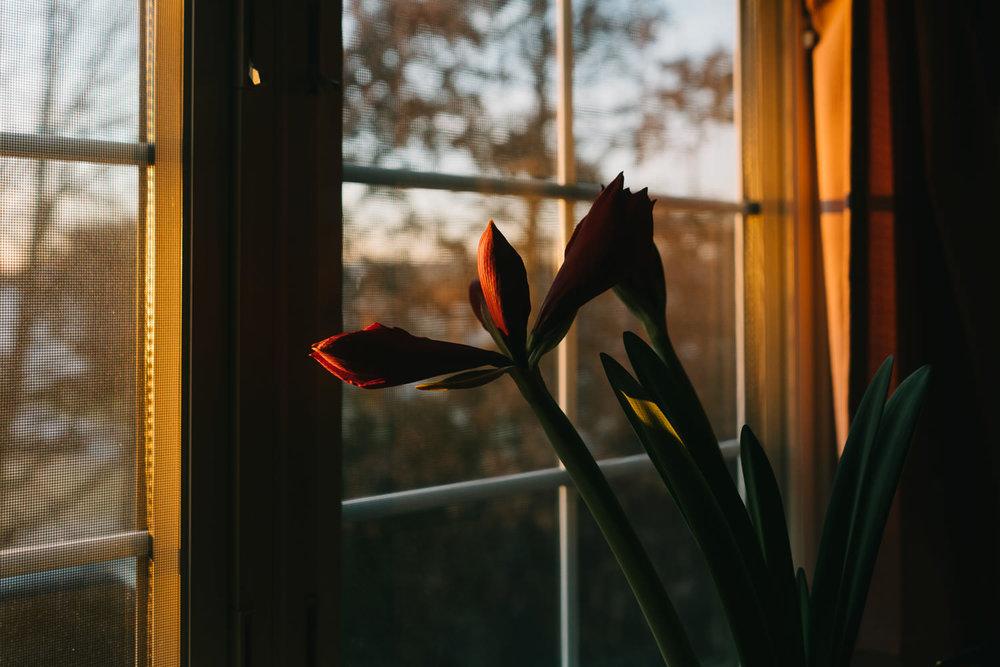 An amaryllis bulb starts to bloom.