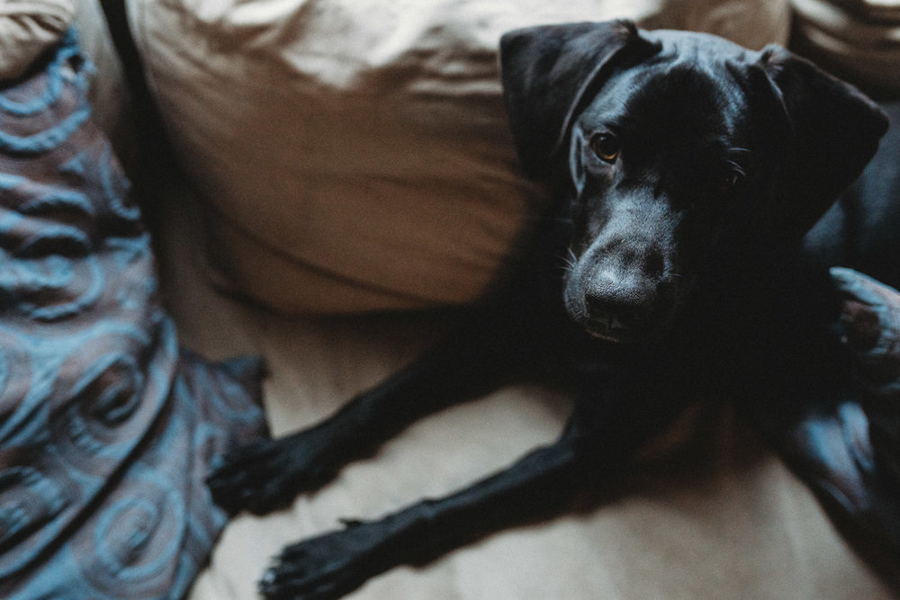 A black lab lies on a couch.