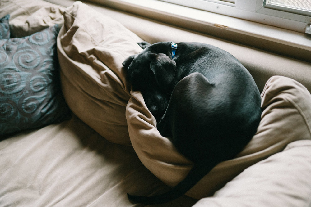 A black lab puppy curled up on a couch.