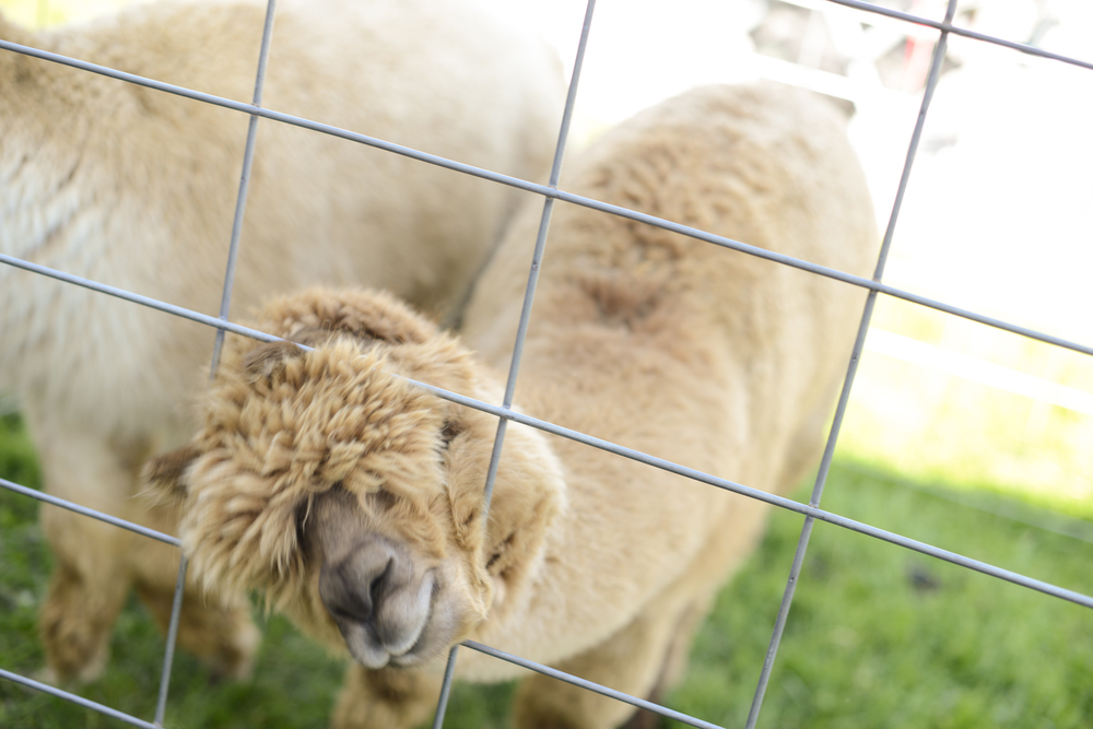 Alpaca at Vinton Dogwood Festival in April 2014 | Maria Grace Photography