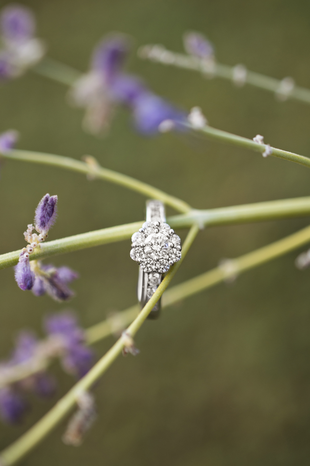 Ring picture on a lavender branch at sunrise