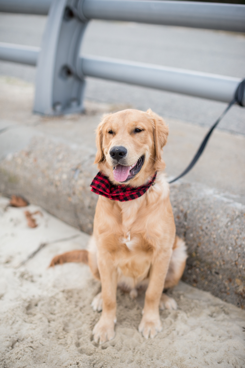 Golden Retriever Puppy with Plaid Scarf