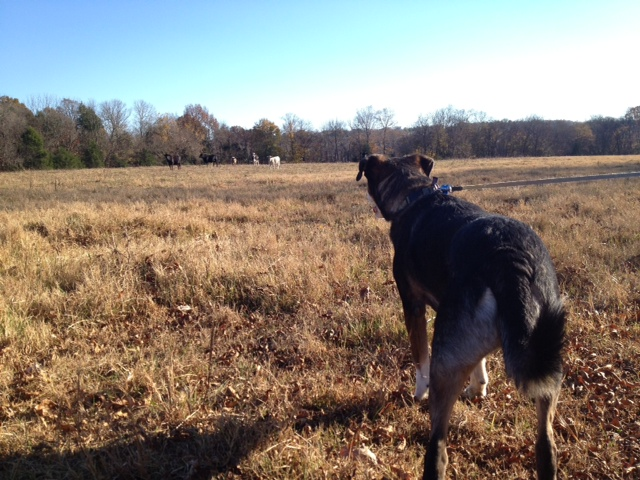 Tasha encounters cows.