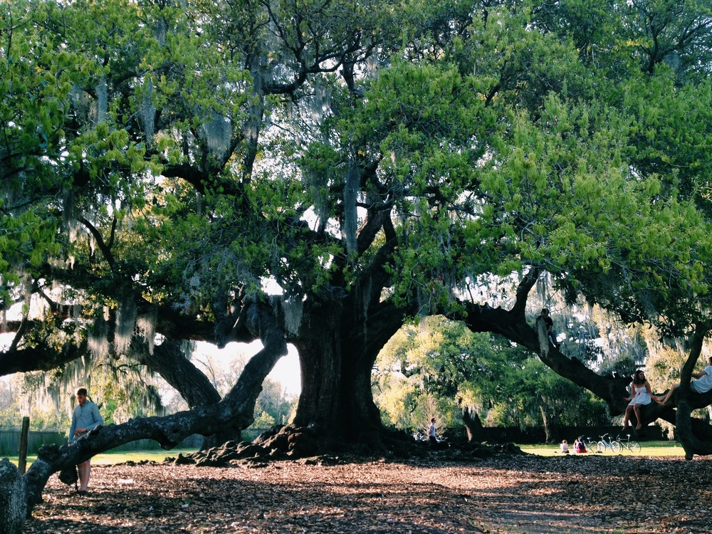 The Tree of Life--the site for our New Orleans Pop Up.  It is an oak planted in 1780 that still stands in Audubon Park.