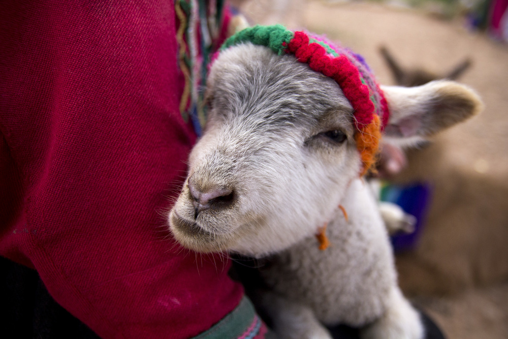 Baby lama in Cusco, Peru. I snapped a photo before I realized they were charging money for pictures.