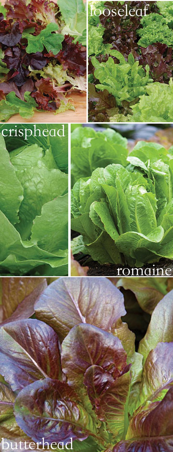 lettuce-georgehirsch.jpg