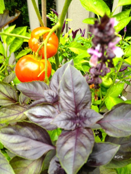 Purple Basil ghl 2.jpeg
