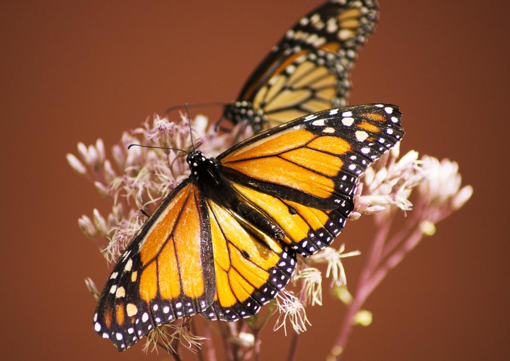 Main Butterfly