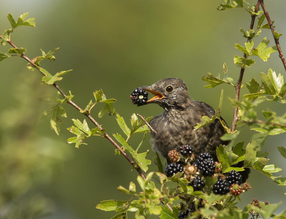 Blackbird on Blackberries