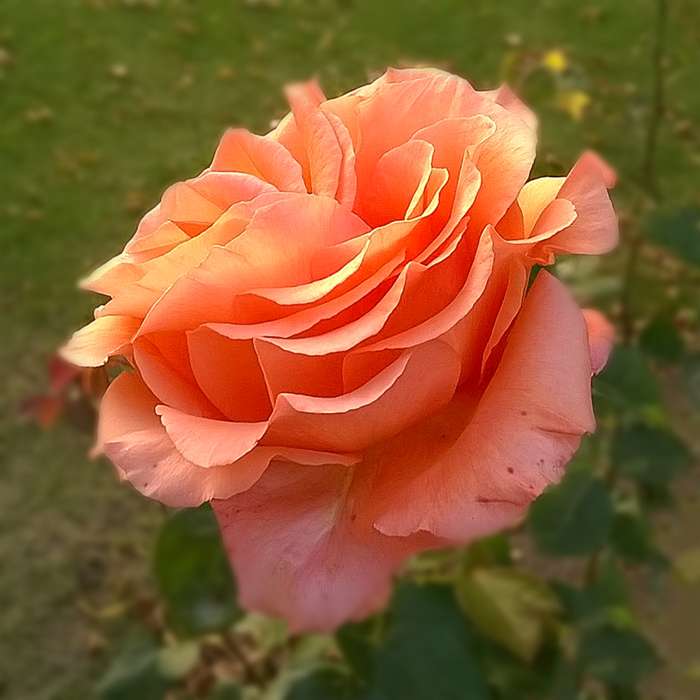 Rose_Angela Corry_F.jpg