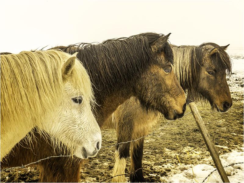 Icelandic Ponies.jpg