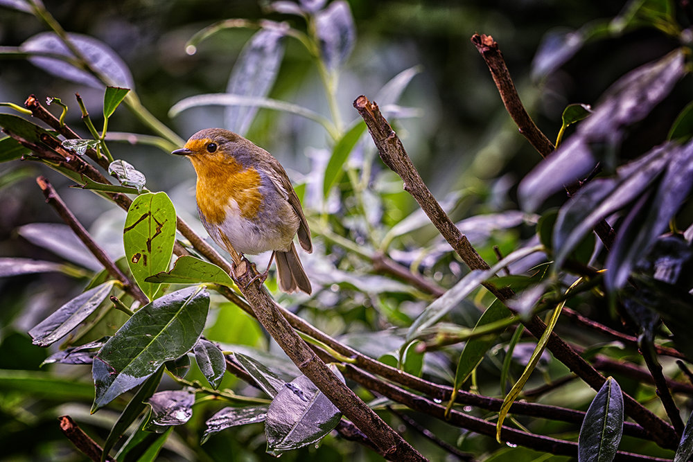Robin Red Breast.jpg