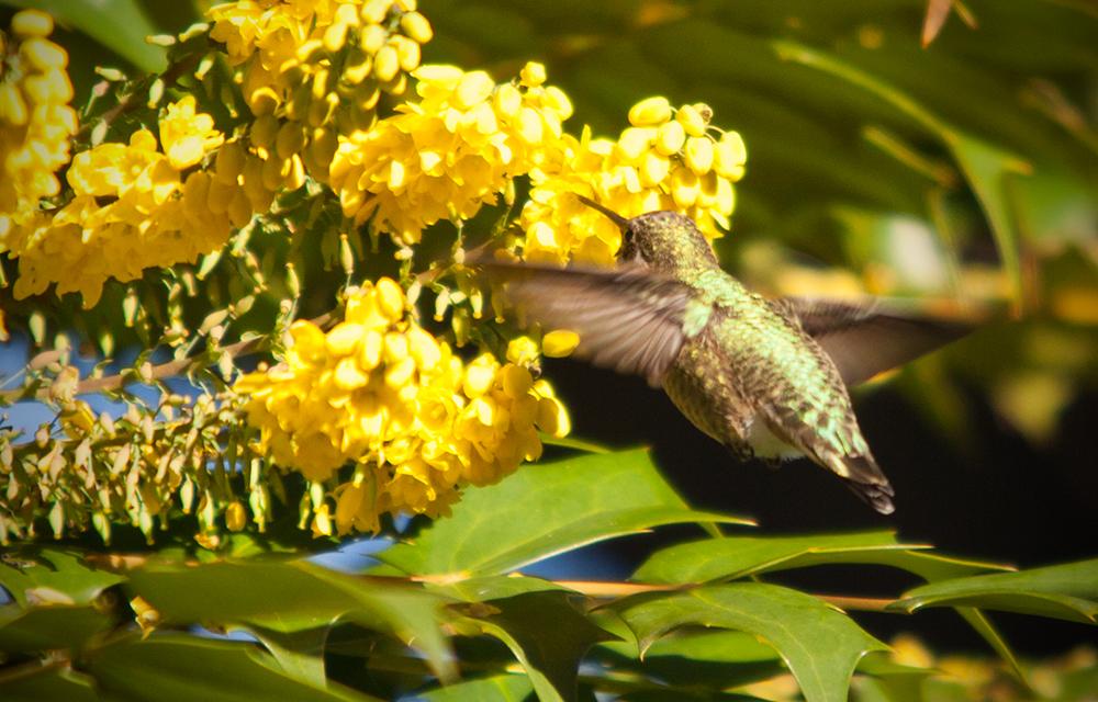webHummingbird-9755.jpg