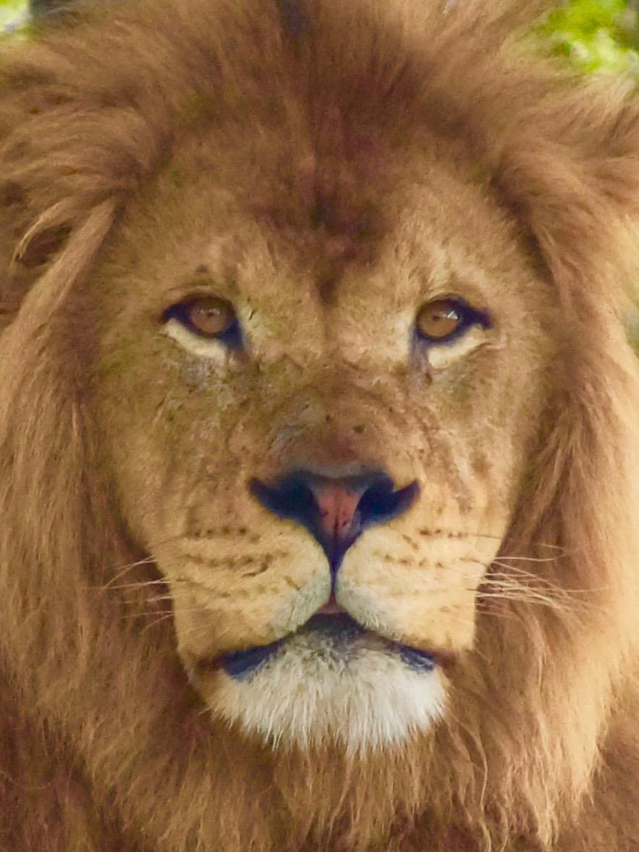 Ashani the Lion 2019. April D. DeConick, photographer
