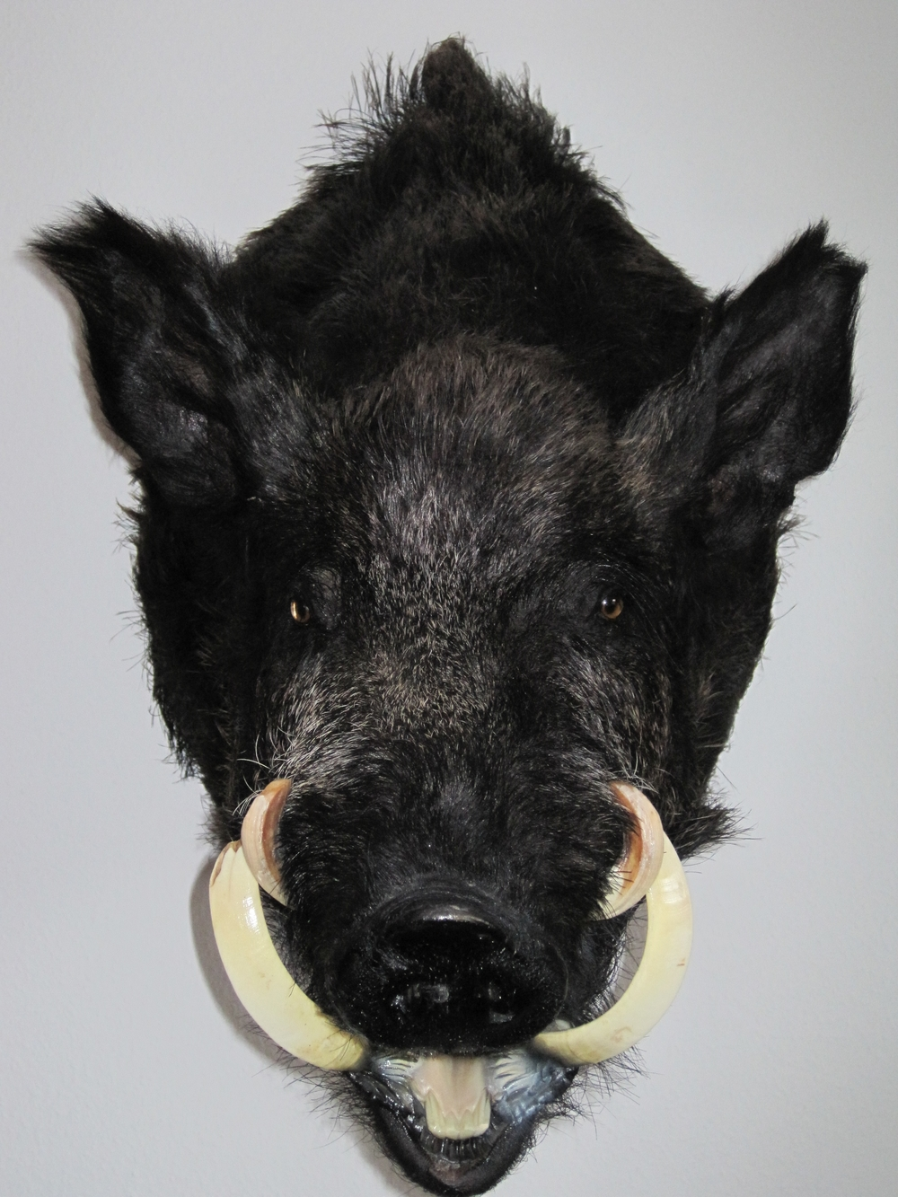wild boar-black-Berndt's.jpg