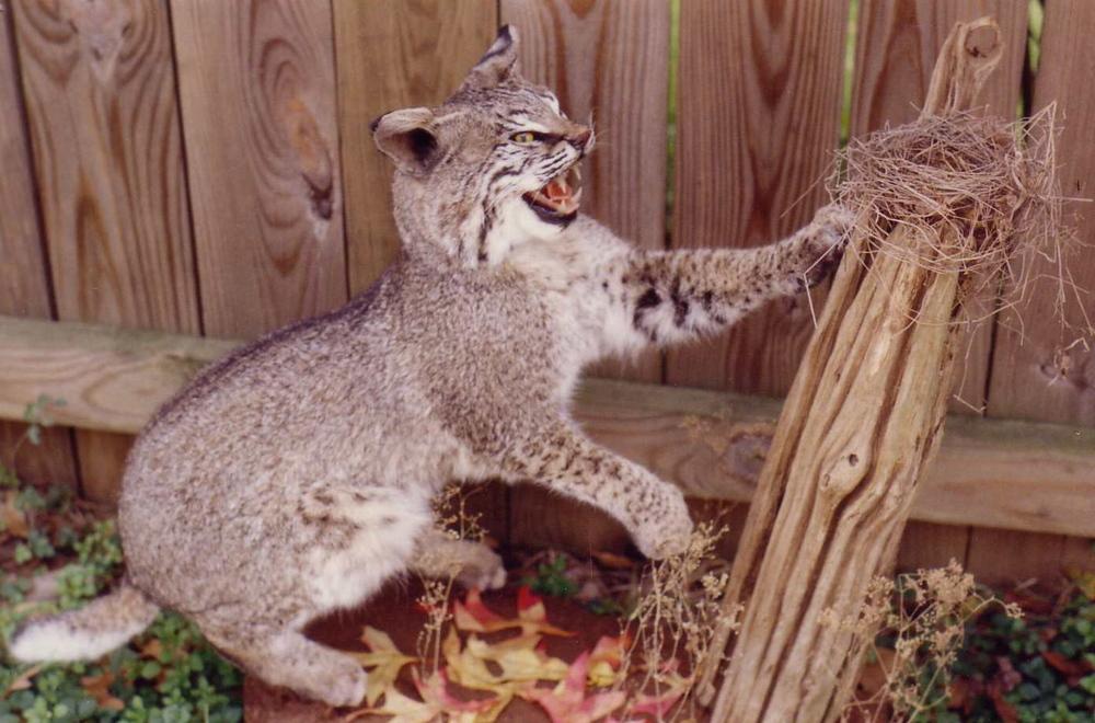 bobcats_2.JPG