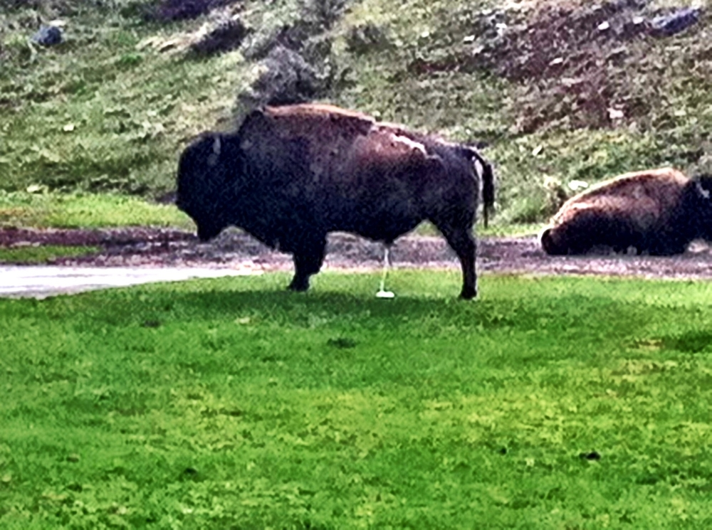I 'be never seen so much bison poop in my life. Bison are indiscriminate poopers. These two bison were at Mammoth Springs in north Yellowstone.