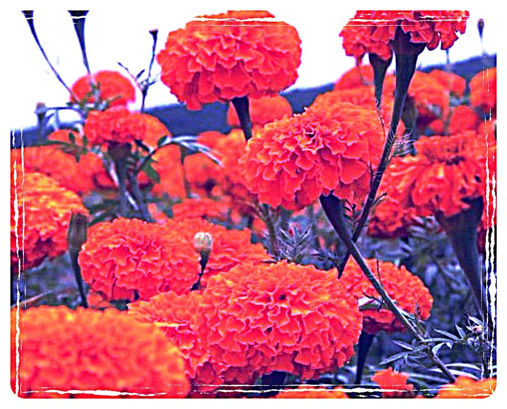 marigold_sierra_orange_1.jpg
