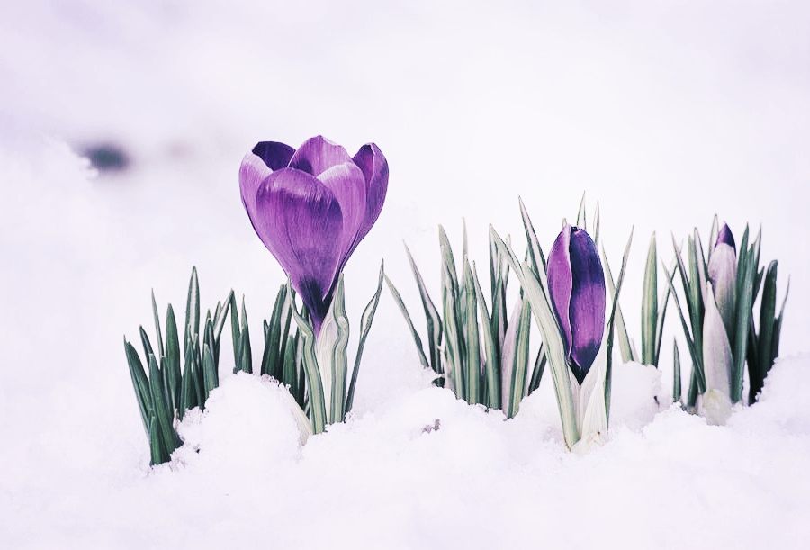 crocus-flower-in-the-snow-david-aubrey.jpg