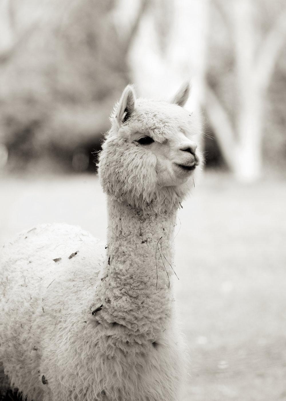 Llama13.jpg