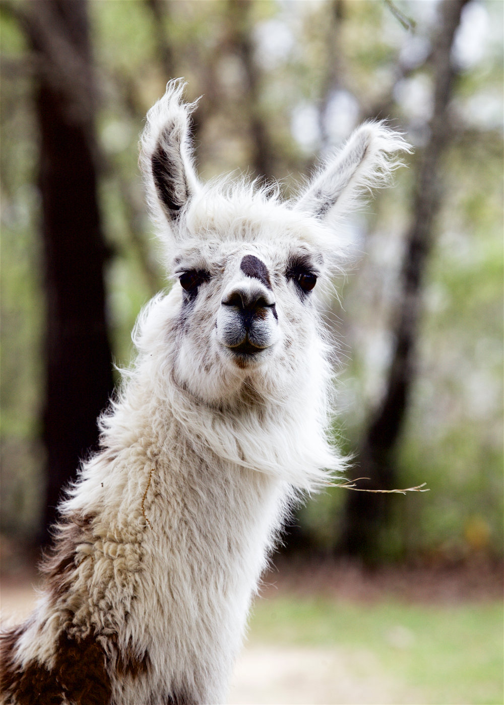 Llama15.jpg