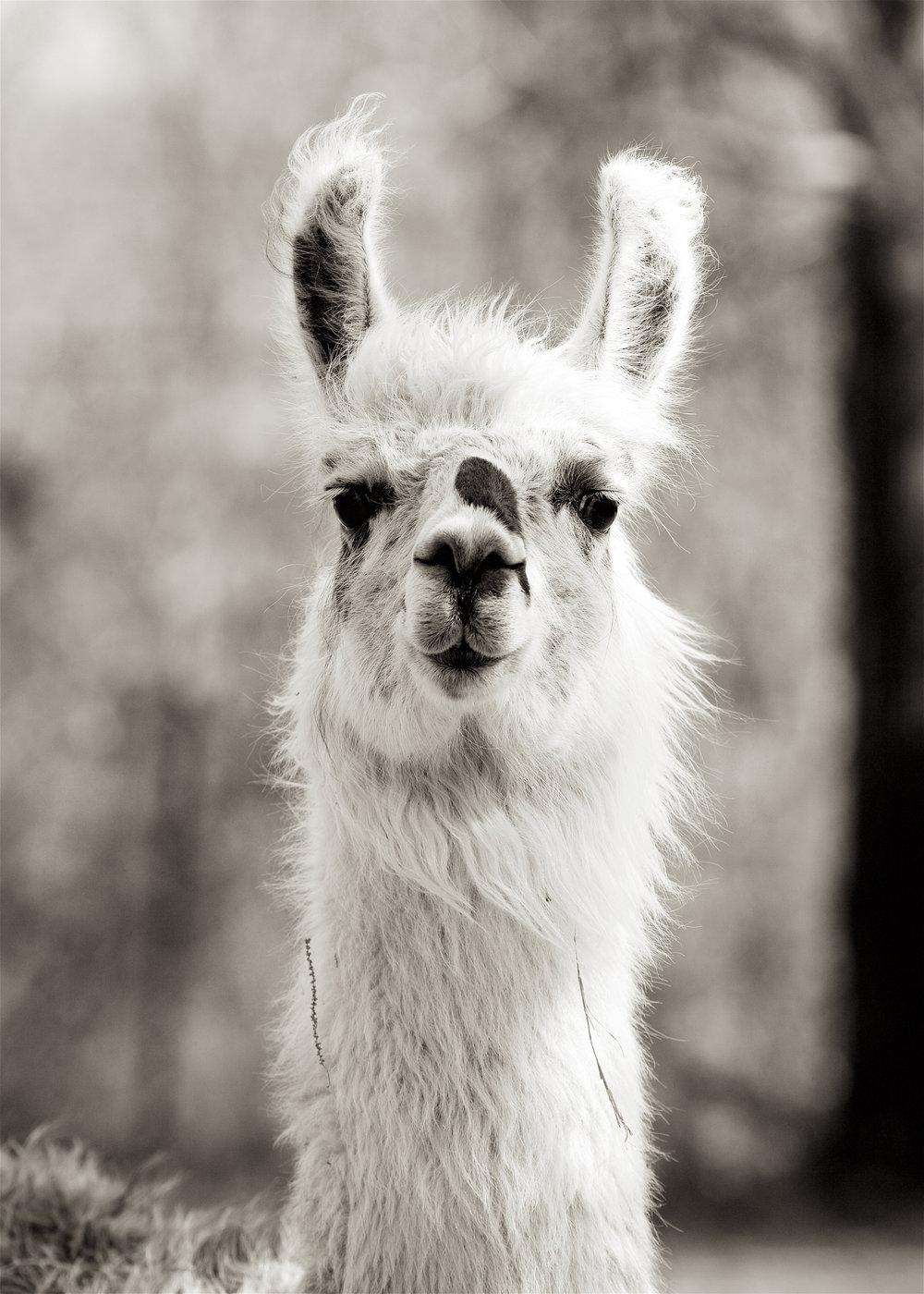 Llama22.jpg