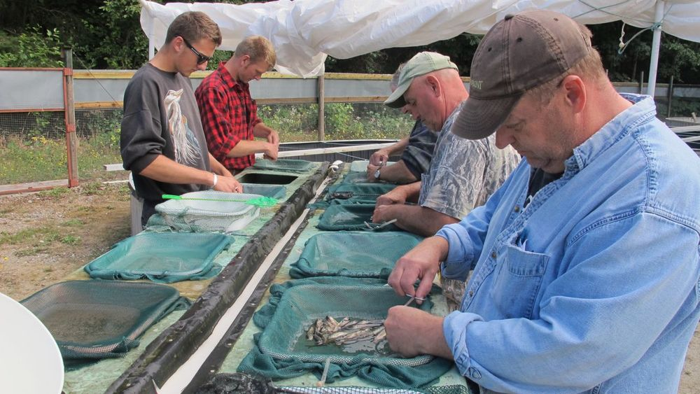 Volunteers clipping coho fry which allows for monitoring the success rate of  hatchery programs and the Chapman Creek Hatchery Program has one of the highest.