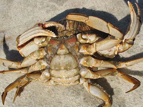 Female Dungeness Crab.