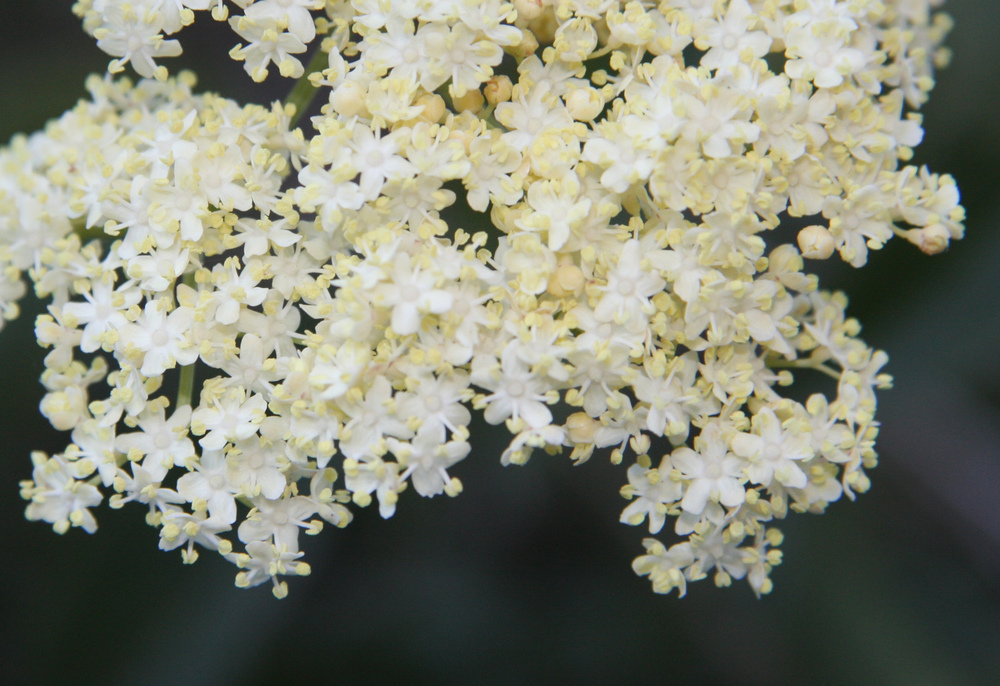 Blue_elderberry_Sambucus_mexicana_flowers.jpg