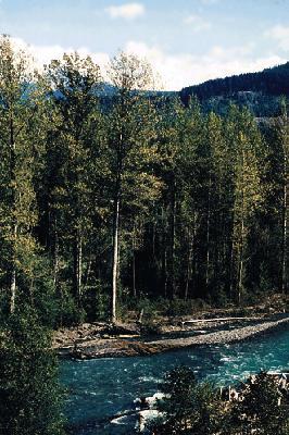 Populus trichocarpa