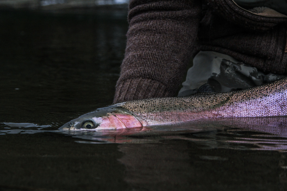 steelhead half in water2.jpg