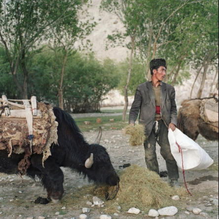 A Kyrgyz trader feeds his yaks in the village of Ghaz Khan in the Wakhan Corridor. He traveled down from the Pamir Mountains with men from his tribe to trade livestock for supplies when the spring snow melting made the trip possible.