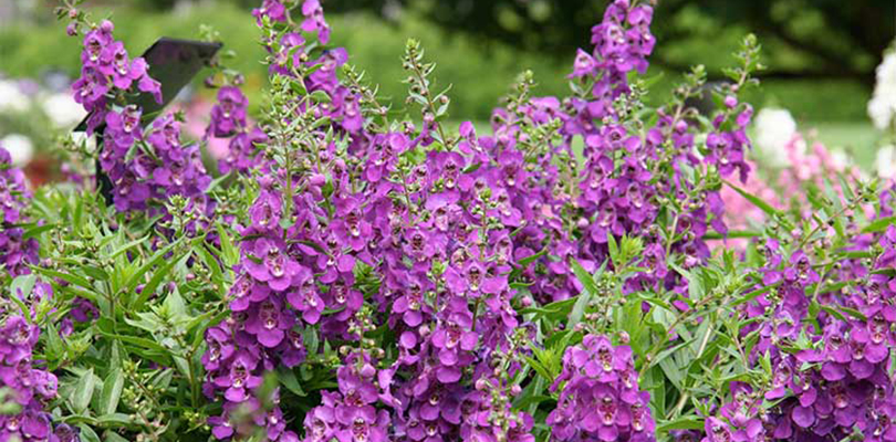 AngelMist-Spreading-Dark-Purple-Angelonia.jpg