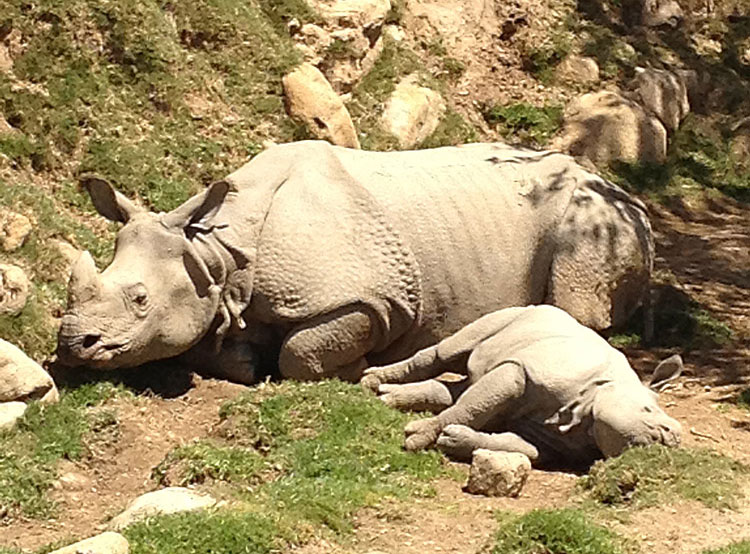 Baby Charlees and her mom, Alta; greater one-horned rhinos at the San Diego Zoo Safari Park.