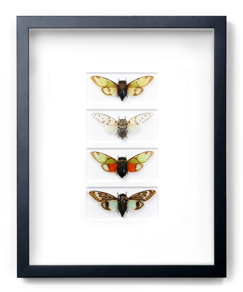 "Tropical Cicadas, Black Frame,   16×20""h   PESGO28"