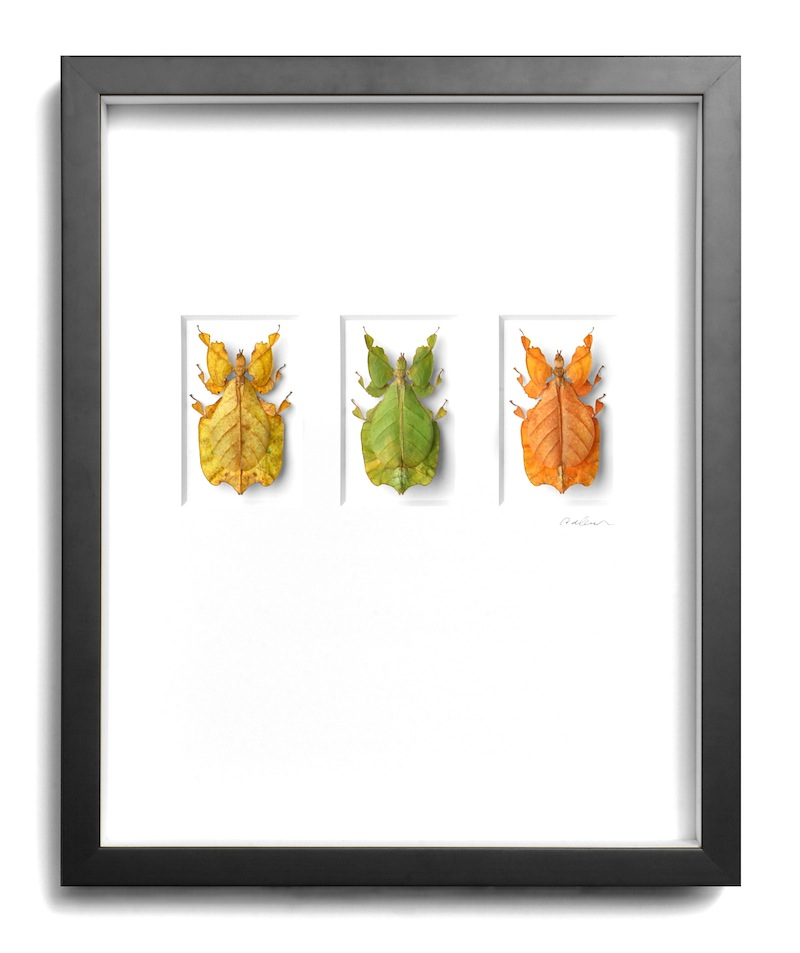 Walking Leaf Cycle, Malaysia, Black Frame   16×20   PESGO1